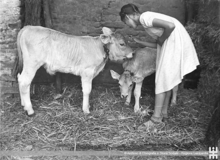 Ernesto Fazioli. Ragazza con i vitelli nella stalla