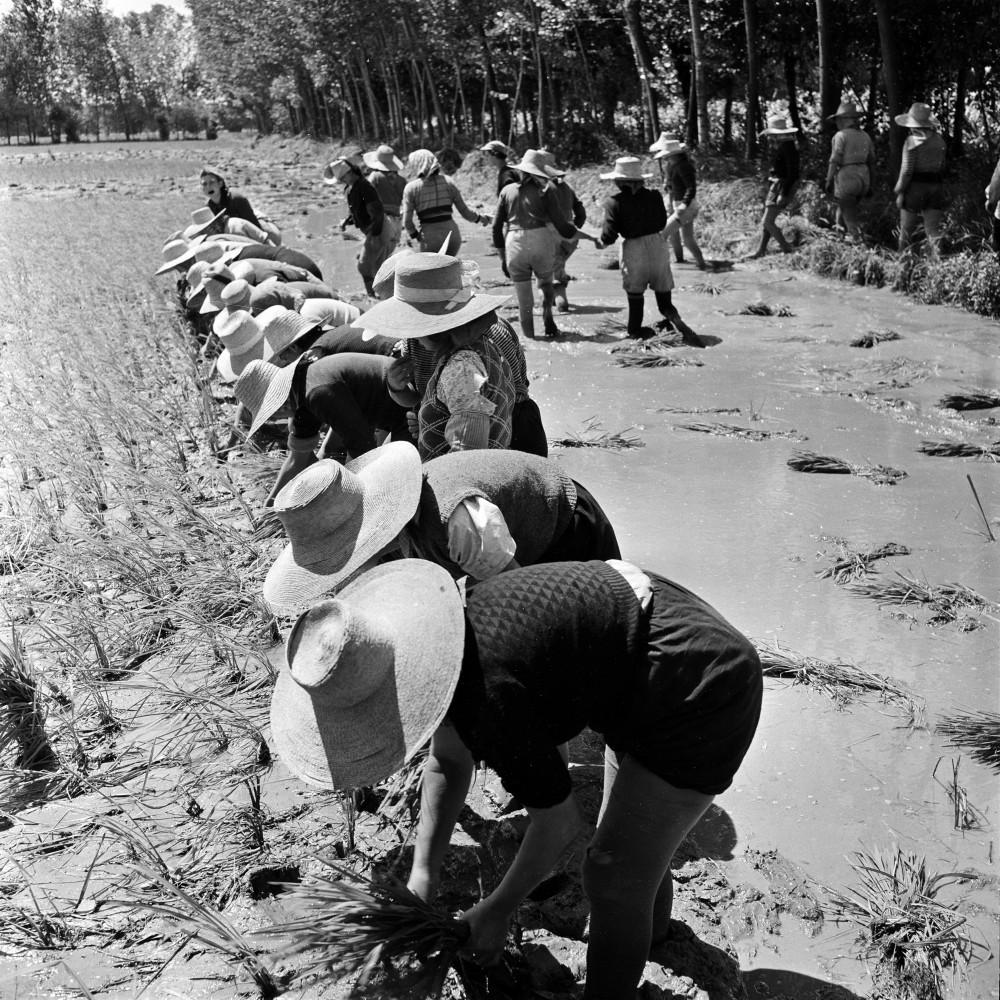 Jacqueline Vodo . Le mondine al lavoro nei campi, Rosate (MI), 1954