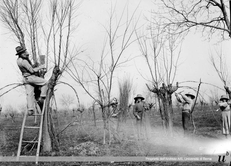 Paul Scheuermeier. Potatura di alberi, Bagnolo San Vito, 1921
